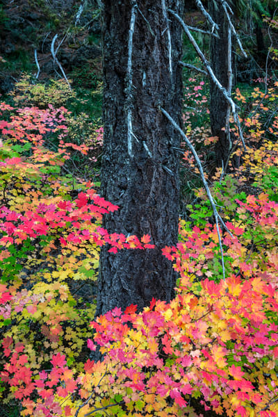 McKenzie Autumn Spectacular I 1810248NWND8) Photograph for Sale as Fine Art Print