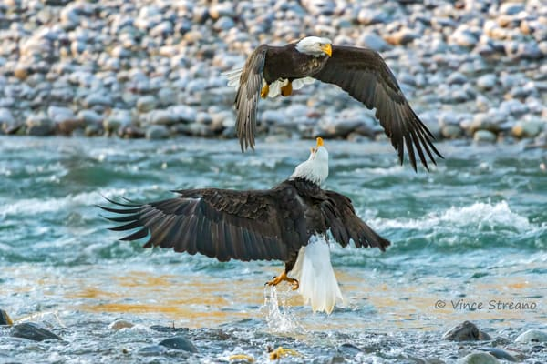 Fine art prints of two squabbling bald eagles