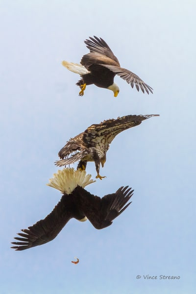 Fine art prints of three bald eagles fighting over a small fish