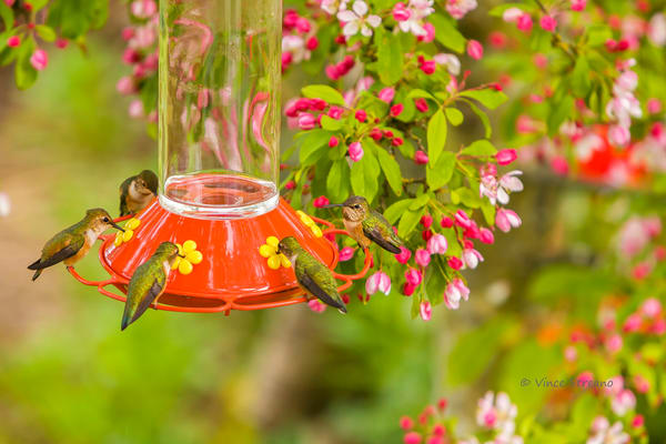 Fine art prints of a full house at the hummingbird feeder.
