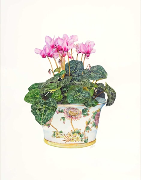 Pot of Cyclamen