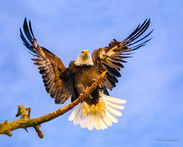 Fine art prints of a bald eagle landing on a tree.