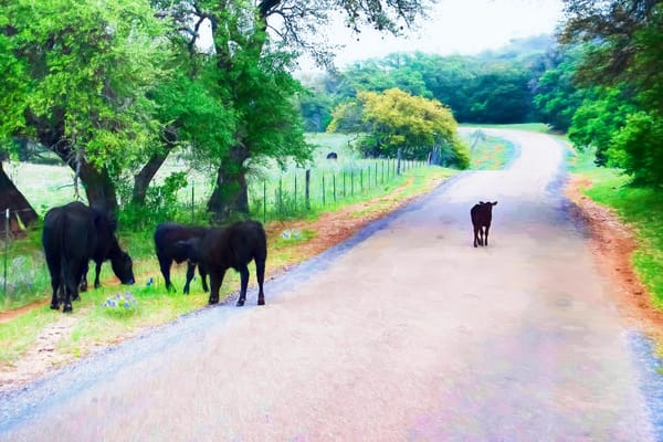 Baby Cow with An Attitude on a Texas Country Road