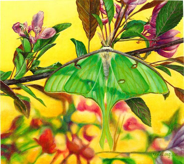 Luna Moth Art | Kevin Lang Fine Art