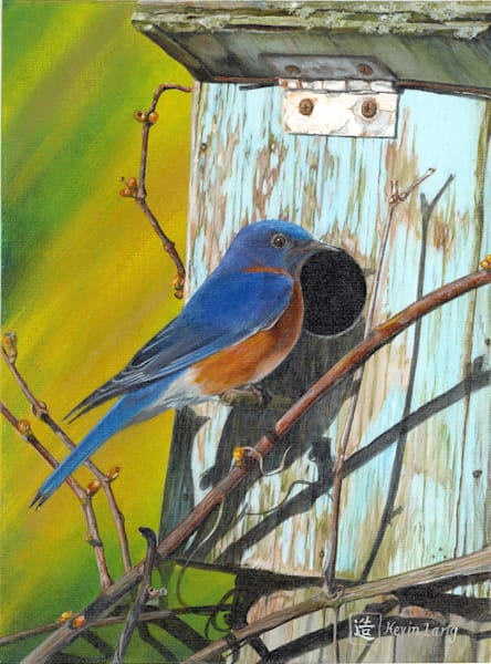 Bluebird builds nest