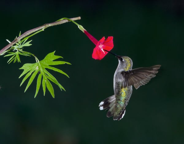 Songbird photographs- fine art prints on canvas and paper