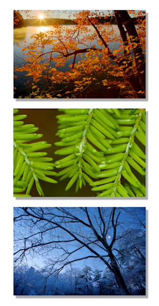 Walden Pond Trees