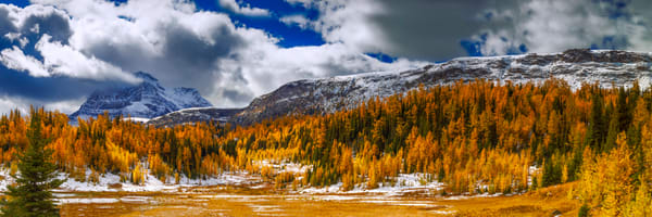 Larches under the Monarch & Ramparts |Banff National Park|Sunshine Village|Canadian Rockies|
