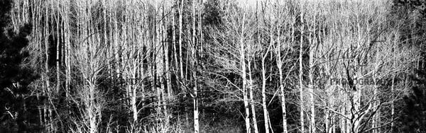 Birch Bark Panorama:  Shop Fine Art Photography | Jim Wyant, Master Craftsman (317)663-4798
