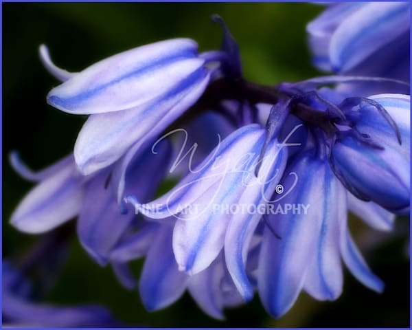Blue Flowers 2:  Shop Fine Art Photography | Jim Wyant, Master Craftsman (317)663-4798