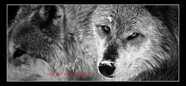 Yellowstone Wolves:  Shop Fine Art Photography | Jim Wyant, Master Craftsman (317)663-4798
