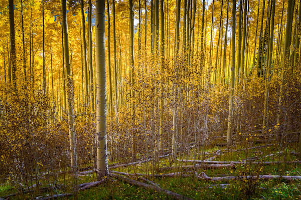 Aspen Grove in Autumn-