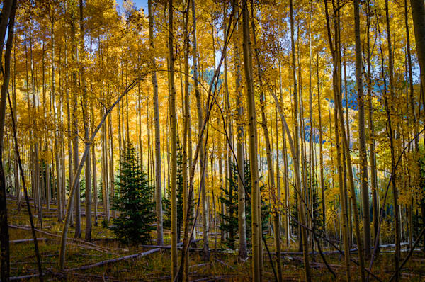 Aspens, Autumn, Fall, Landscape, New Mexico, Photography, Sangre de Christo mountains, Santa Fe, Southwest, forest