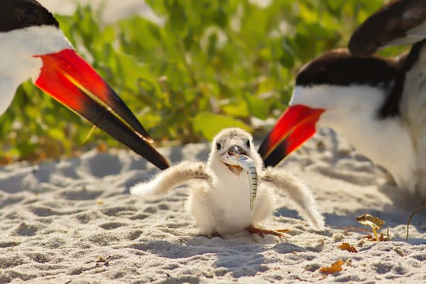 Black Skimmer chick with a huge appetite! | Pensacola Beach, Florida | Fine Art Prints on Canvas, Paper, Metal, & More | Waldorff Photography