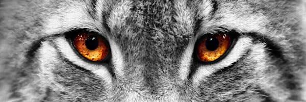 Lynx Eyes by artist PhotoINC Studio Wrapped Canvas Photo Art Print