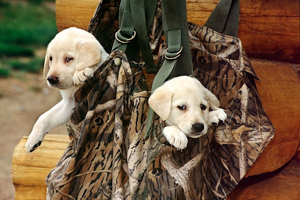 Labs in a bag 2, photograph by Jeff Druckrey Images.