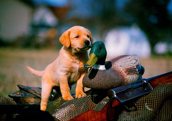"""Puppy with Decoy"" photo by Jeff Druckrey Images."