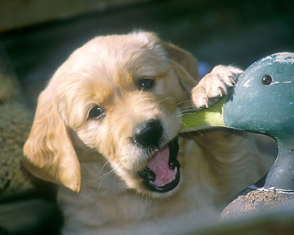 """Duck Chew"" photo by Jeff Druckrey Images."