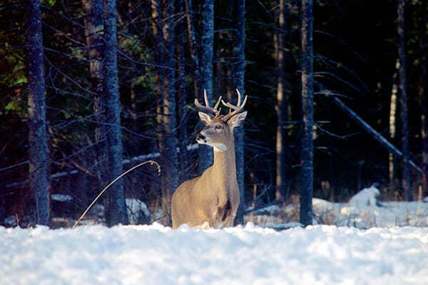 """Snowy Buck"" photo by Jeff Druckrey Images."