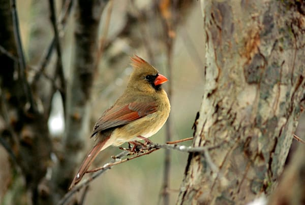 """""""Cardinal"""" photograph by Jeff Druckrey Images"""