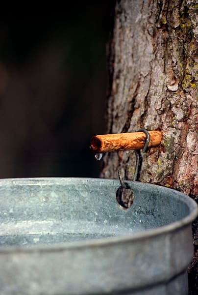 """Maple Syrup Drip"" photograph by Jeff Druckrey Images."