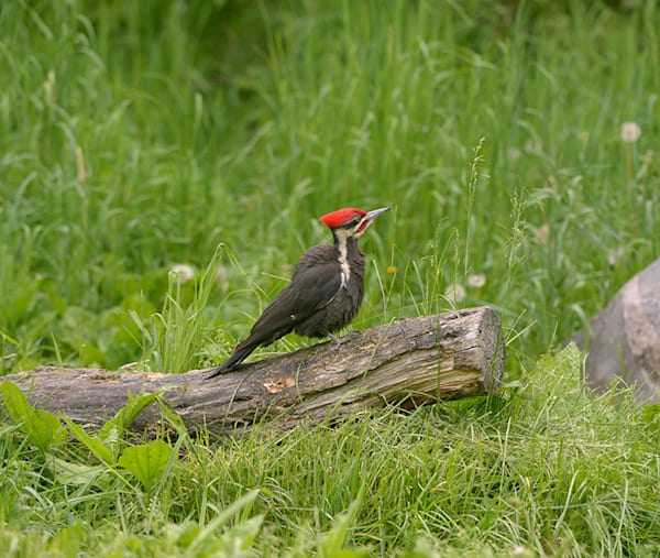 """Pileated Woodpecker"" photograph by Jeff Druckrey Images."