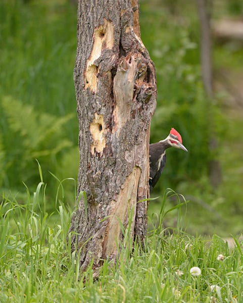 """Woodpecker"" photograph by Jeff Druckrey Images."