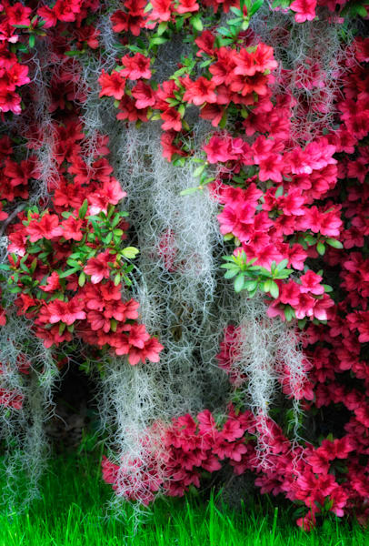 Red Azaleas and Moss