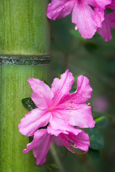 Pink Azalea and Bamboo