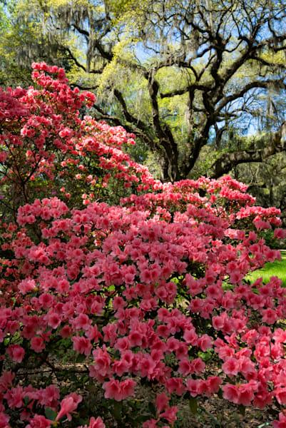 Azaleas and Live Oak Blue Sky