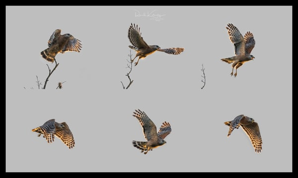 Flight of the Red Shouldered Hawk