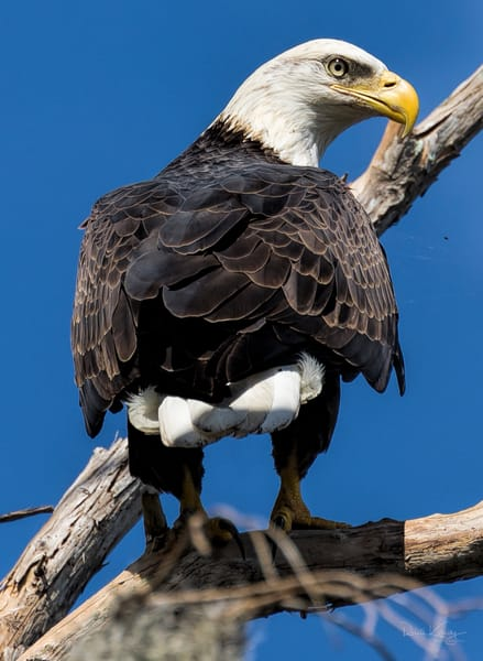 Beauty of the Bald Eagle Photographic Art