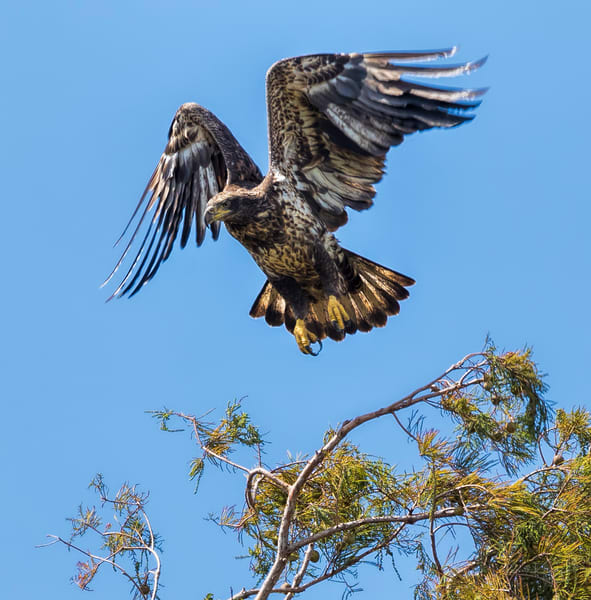 Flight of the Juvenile Eagle  Photographic Art