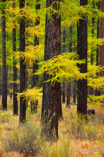 Metolius Larch Conifer (1810265LNND8) Photograph for Sale as Fine Art Print