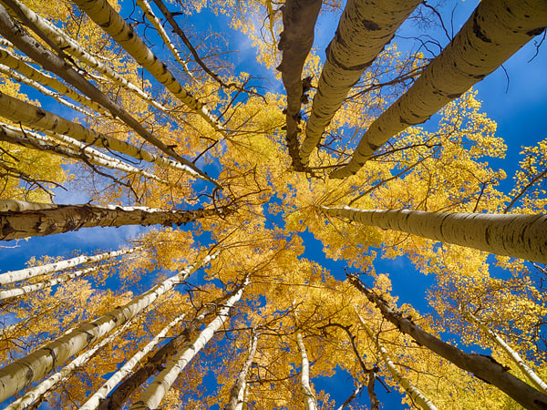 Among The Aspens Photography Art | Nicholas Jensen Photography