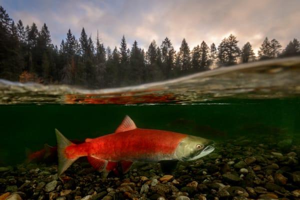 Sunrise Salmon Split