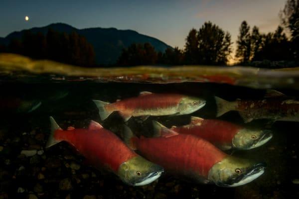 Twilight Salmon