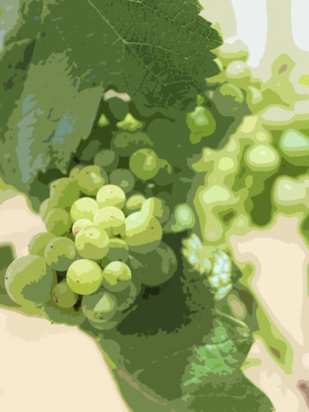 YOUNG WHITE GRAPES