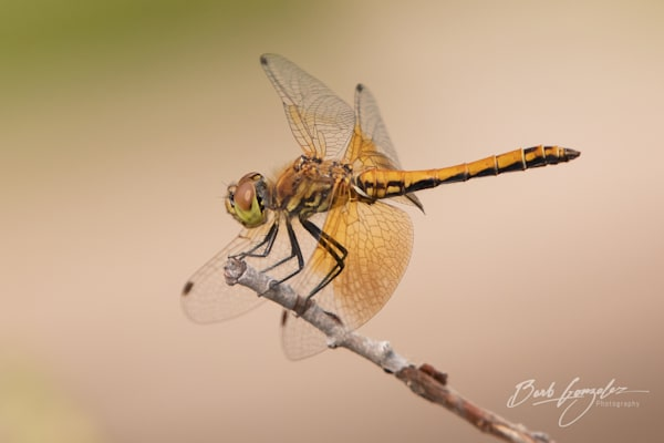Golden Dragonfly Photo for sale by Barb Gonzalez Photography.