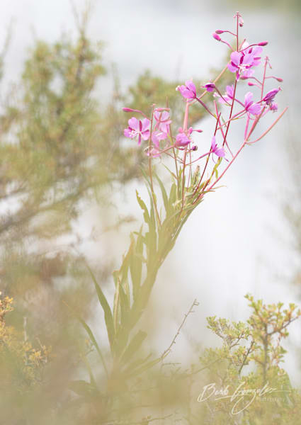 Soft Fireweed Flower photo for Sale | Barb Gonzalez Photography
