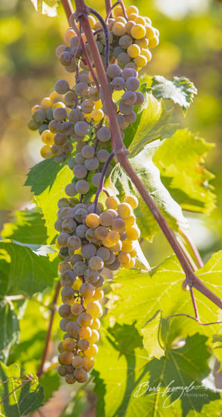 Beautiful golden wine grapes on the vine photo for sale by Barb Gonzalez Photography