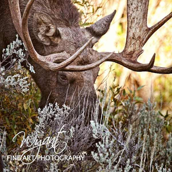 Yellowstone Moose: Shop Fine Art Photography | Jim Wyant, Master Craftsman (317)663-4798