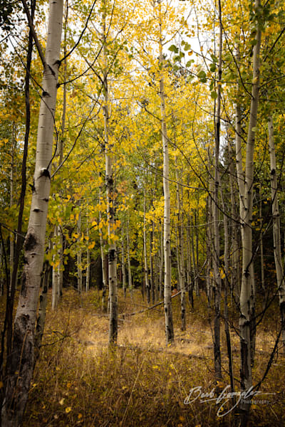 Light in the Autumn Aspens Stunning Fine Art Photo by Barb Gonzalez Photography