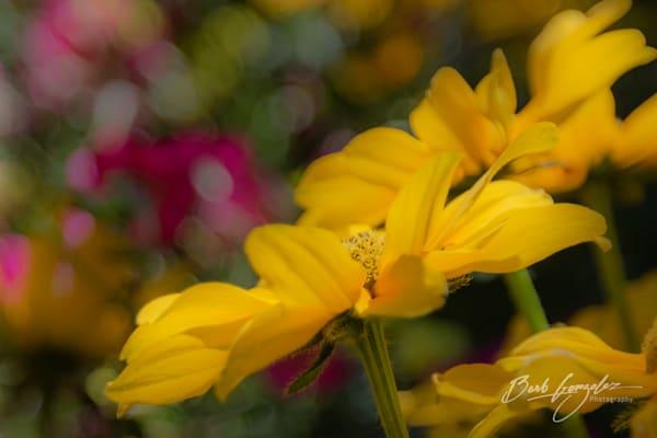 Soft beautiful yellow daisy fine art photo for sale by Barb Gonzalez Photography