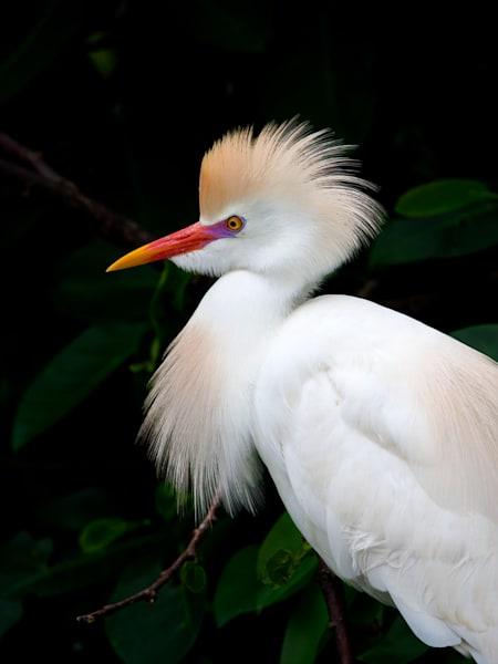 Joshua Parrott Cattle Egret