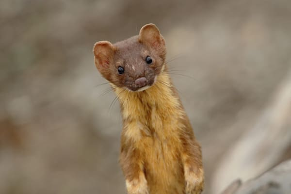 Joshua Parrott Long Tailed Weasel