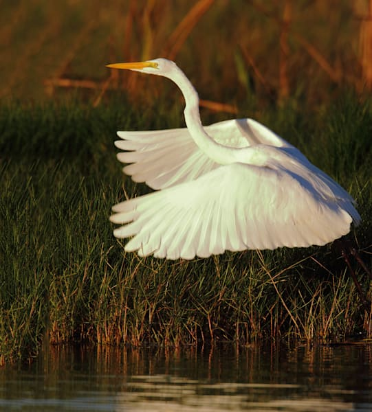 Joshua Parrott Great Egret