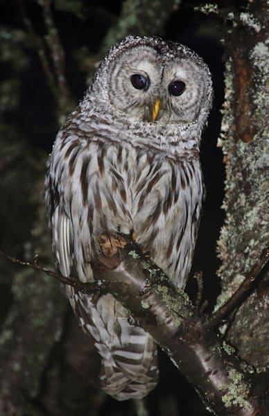 Joshua Parrott Barred Owl