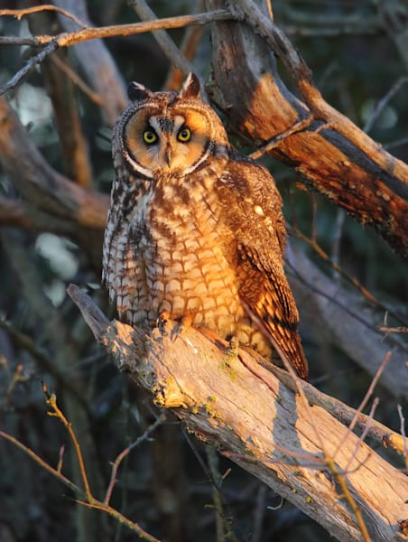 Joshua Parrott Long Eared Owl