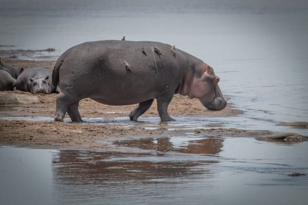 Several Ton Hippo carries birds on way to a water hole - wildlife art photography